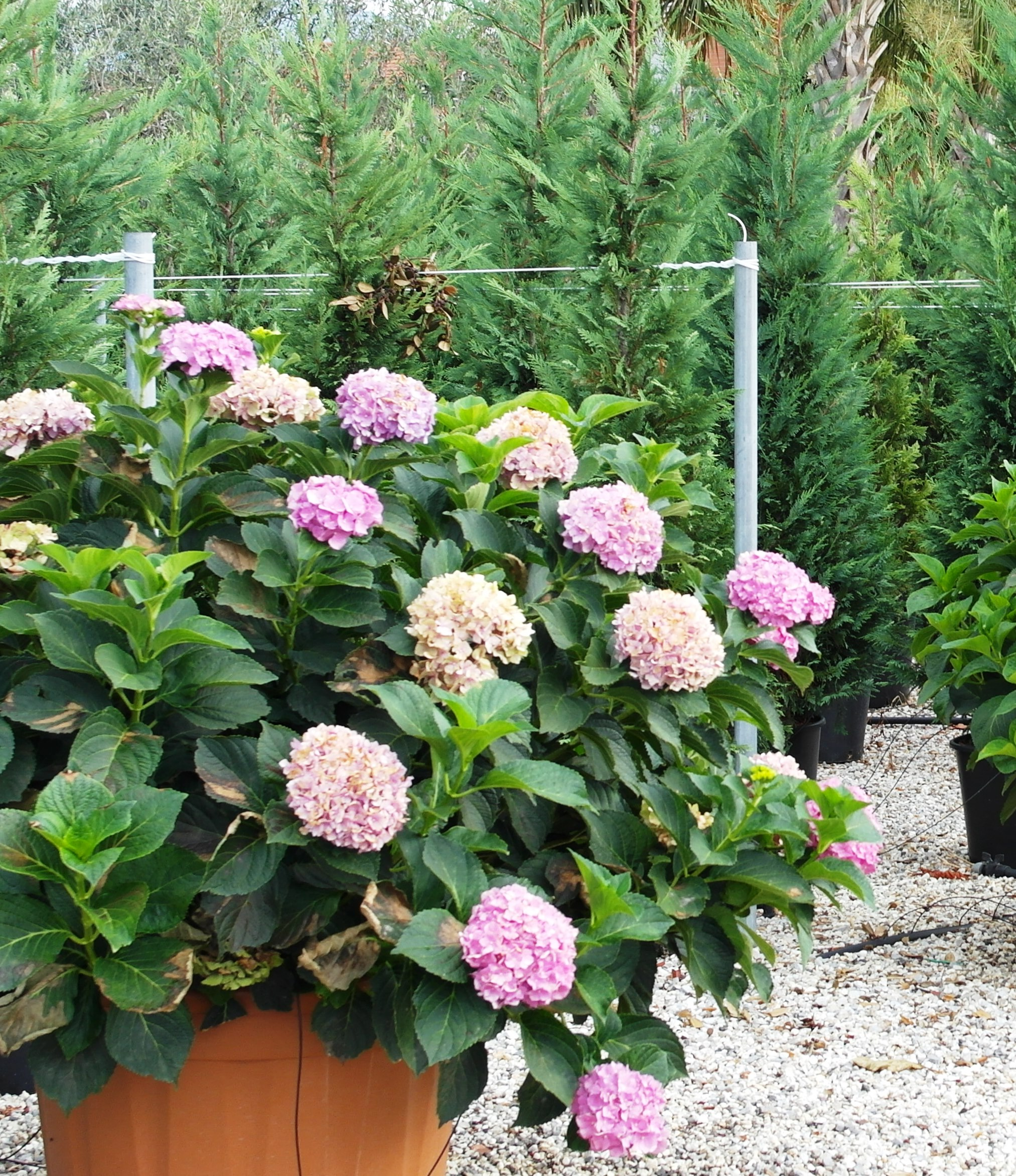 hydrangea macrophylla hortenzie velkolist. Black Bedroom Furniture Sets. Home Design Ideas