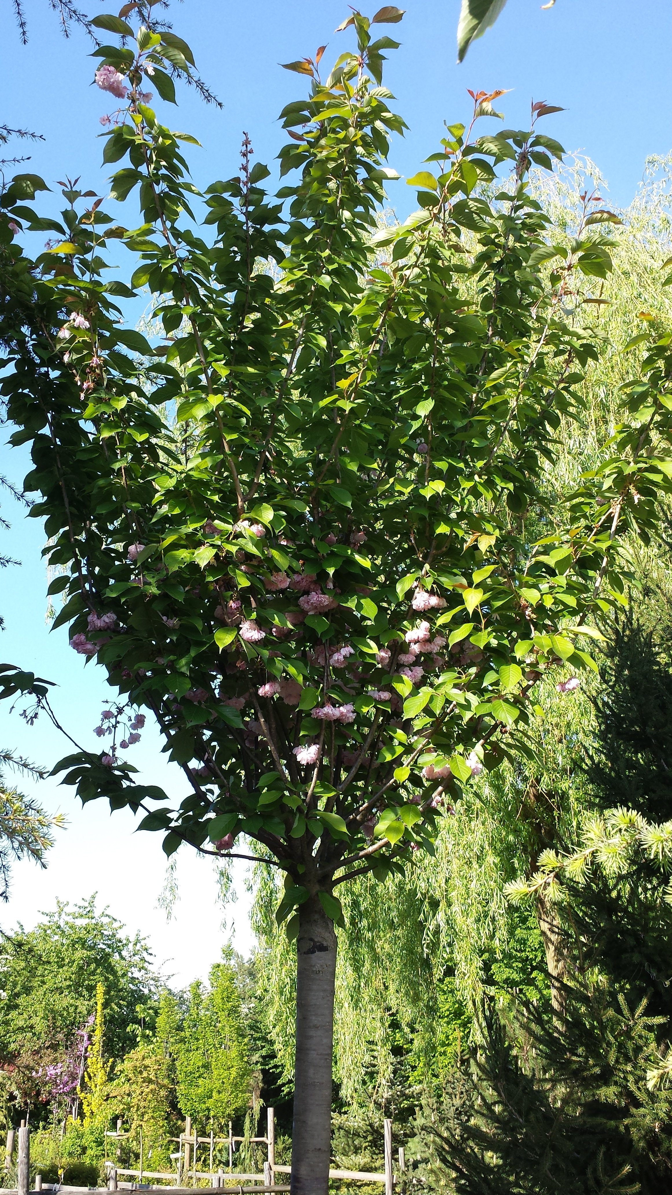 Mature deciduous trees for Garden deciduous trees